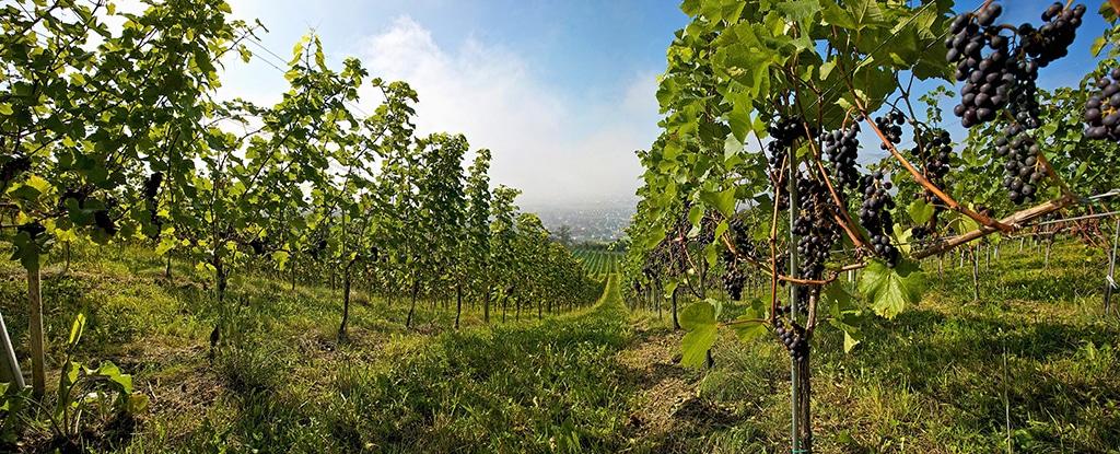 Weinbauin im Lavanttal